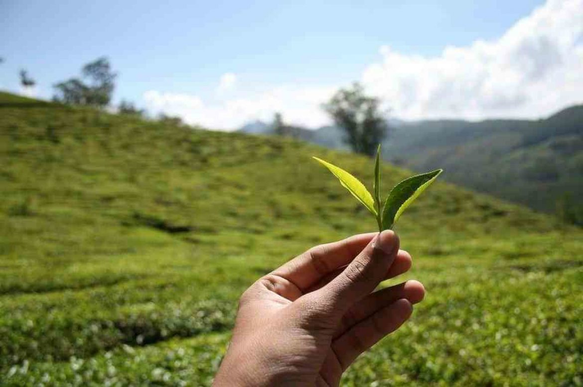 Best Green Tea Buying Guide
